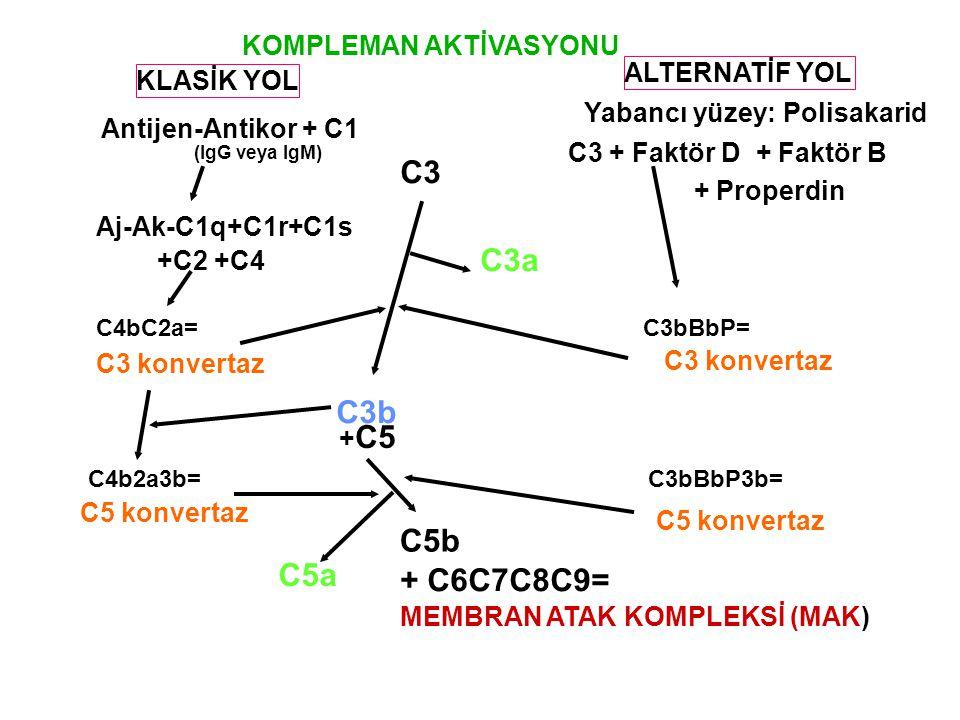 KLASİK YOL ALTERNATİF YOL Yabancı yüzey: Polisakarid Antijen-Antikor + C1 C3 + Faktör D + Faktör B + Properdin C3 Aj-Ak-C1q+C1r+C1s +C2 +C4 C3a C4bC2a