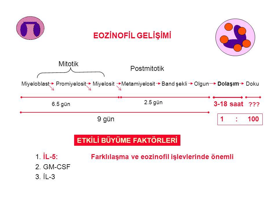 ETKİLİ BÜYÜME FAKTÖRLERİ 1. İL-5:Farklılaşma ve eozinofil işlevlerinde önemli 2. GM-CSF 3. İL-3 EOZİNOFİL GELİŞİMİ Mitotik Postmitotik Miyeloblast Pro