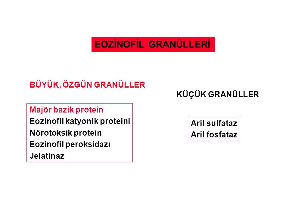 EOZİNOFİL GRANÜLLERİ BÜYÜK, ÖZGÜN GRANÜLLER Majör bazik protein Eozinofil katyonik proteini Nörotoksik protein Eozinofil peroksidazı Jelatinaz KÜÇÜK G