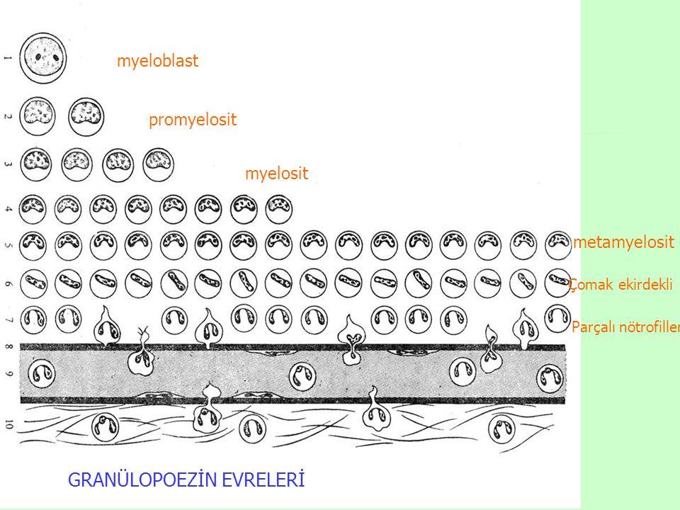 myeloblast promyelosit myelosit metamyelosit Çomak ekirdekli Parçalı nötrofiller GRANÜLOPOEZİN EVRELERİ