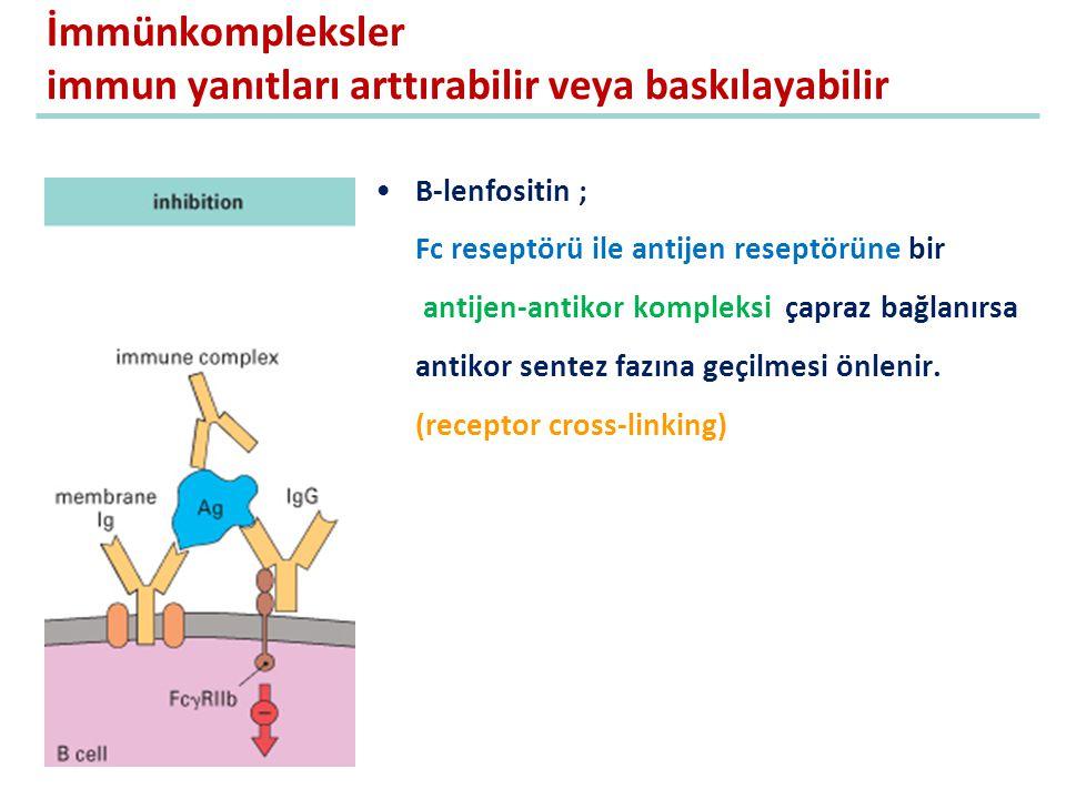 İmmünkompleksler immun yanıtları arttırabilir veya baskılayabilir B-lenfositin ; Fc reseptörü ile antijen reseptörüne bir antijen-antikor kompleksi ça