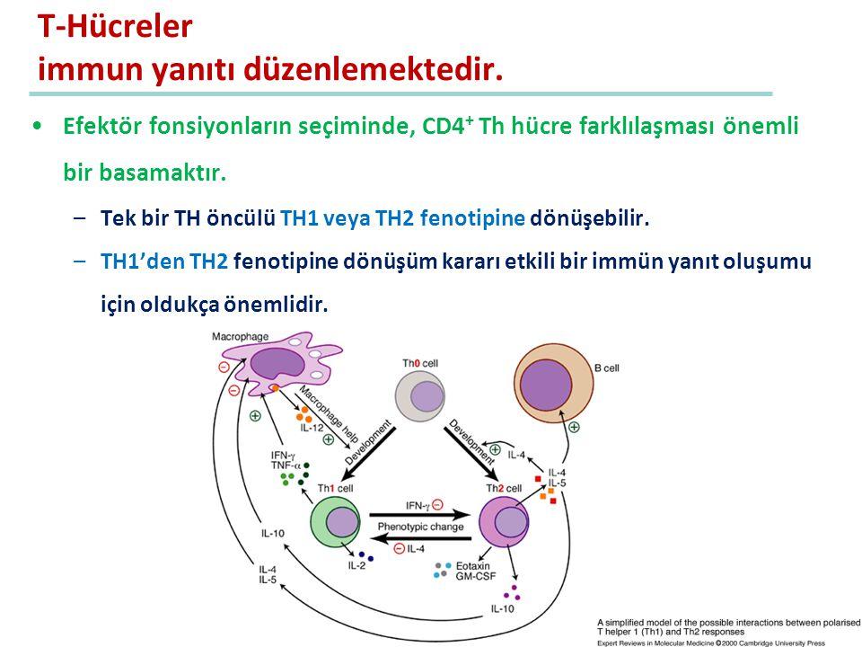 Efektör fonsiyonların seçiminde, CD4 + Th hücre farklılaşması önemli bir basamaktır. –Tek bir TH öncülü TH1 veya TH2 fenotipine dönüşebilir. –TH1'den