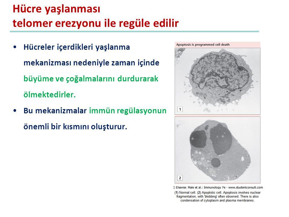 Hücre yaşlanması telomer erezyonu ile regüle edilir Hücreler içerdikleri yaşlanma mekanizması nedeniyle zaman içinde büyüme ve çoğalmalarını durdurara