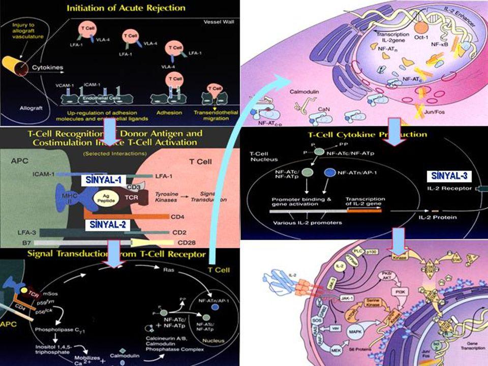 ToksisiteCsAFK-506SteroidlerRapamisinMMF Nefrotoksisite++--- Hipertansiyon+++-- Hiperlipidemi+?++- Nörotoksisite++-?- Diyabet+++-- Osteoporoz+++-- İmmunsupresan Toksisitesi