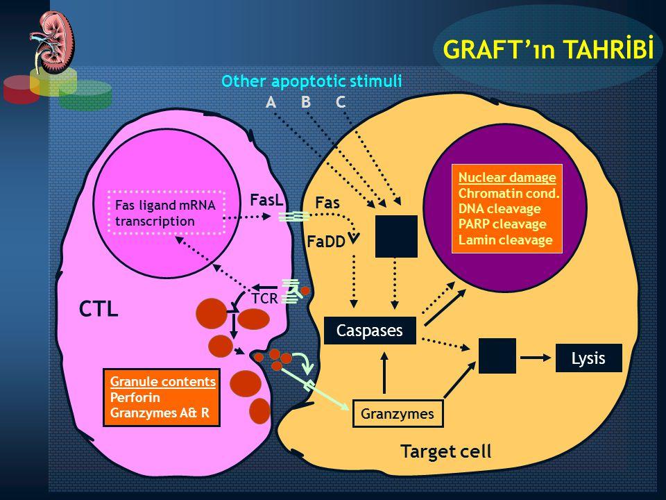 Kostimülatör Sinyal (II) Antijenik Sinyal (I) APC IL-2-R mAb Rapamisin MMF AZA FK506 CsA T Hücresi TCR  Ca 2+ NFAT Aktive kalsinörin Hücre Siklusu + IL-2 GEN UYARICISI De novo purin sentezi P M S G2 G1 Postreseptör Sinyal (III) IL-2 reseptörü OKT3 mAb NFAT CTLA-4-Ig