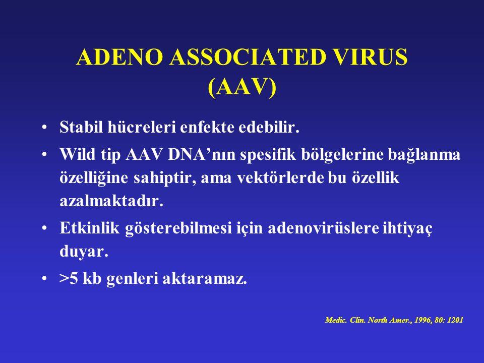 ADENO ASSOCIATED VIRUS (AAV) Stabil hücreleri enfekte edebilir. Wild tip AAV DNA'nın spesifik bölgelerine bağlanma özelliğine sahiptir, ama vektörlerd