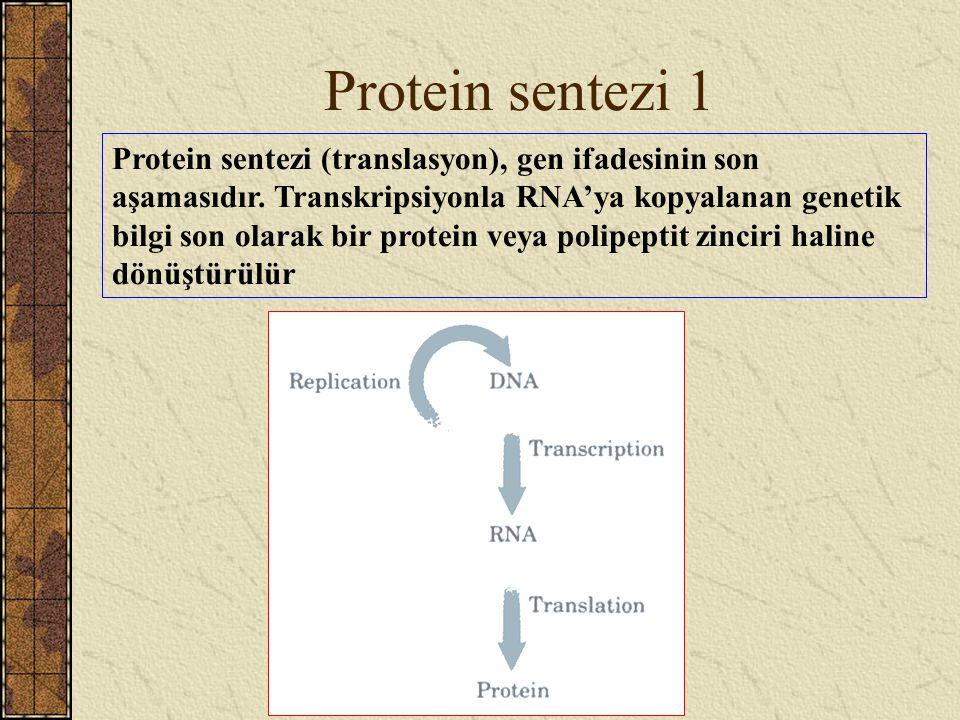 Protein sentezi 1 Protein sentezi (translasyon), gen ifadesinin son aşamasıdır. Transkripsiyonla RNA'ya kopyalanan genetik bilgi son olarak bir protei