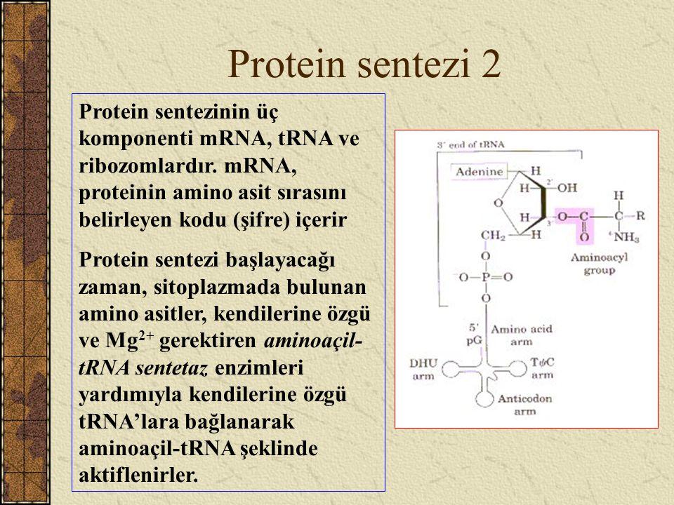 Protein sentezi 2 Protein sentezinin üç komponenti mRNA, tRNA ve ribozomlardır. mRNA, proteinin amino asit sırasını belirleyen kodu (şifre) içerir Pro