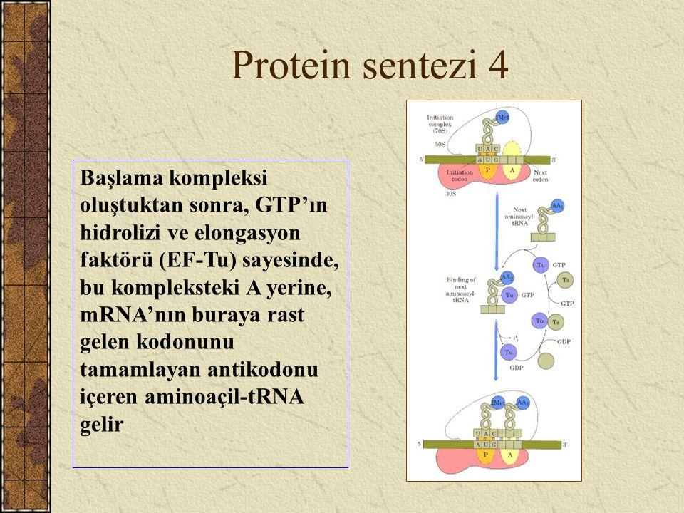 Protein sentezi 4 Başlama kompleksi oluştuktan sonra, GTP'ın hidrolizi ve elongasyon faktörü (EF-Tu) sayesinde, bu kompleksteki A yerine, mRNA'nın bur