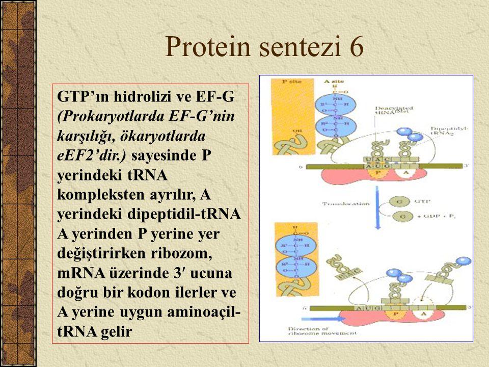 Protein sentezi 6 GTP'ın hidrolizi ve EF-G (Prokaryotlarda EF-G'nin karşılığı, ökaryotlarda eEF2'dir.) sayesinde P yerindeki tRNA kompleksten ayrılır,