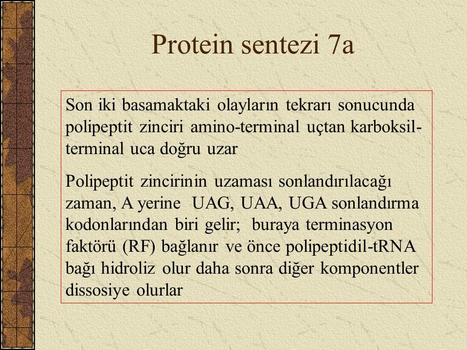 Protein sentezi 7a Son iki basamaktaki olayların tekrarı sonucunda polipeptit zinciri amino-terminal uçtan karboksil- terminal uca doğru uzar Polipept