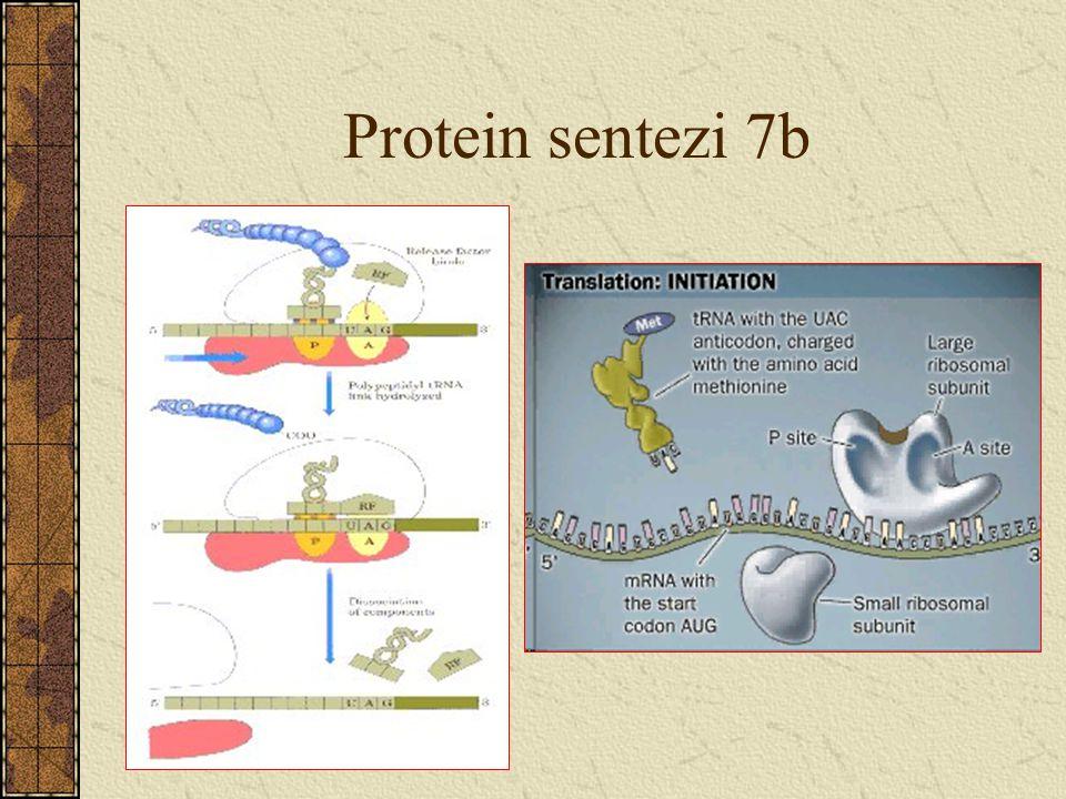 Protein sentezi 7b