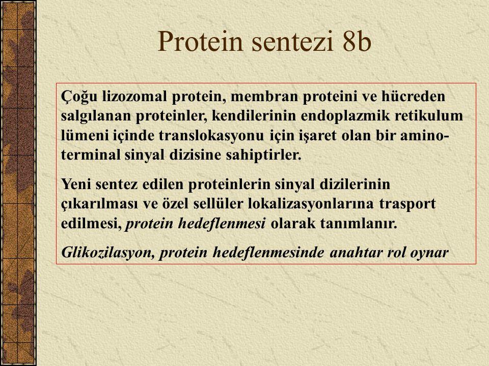 Protein sentezi 8b Çoğu lizozomal protein, membran proteini ve hücreden salgılanan proteinler, kendilerinin endoplazmik retikulum lümeni içinde transl