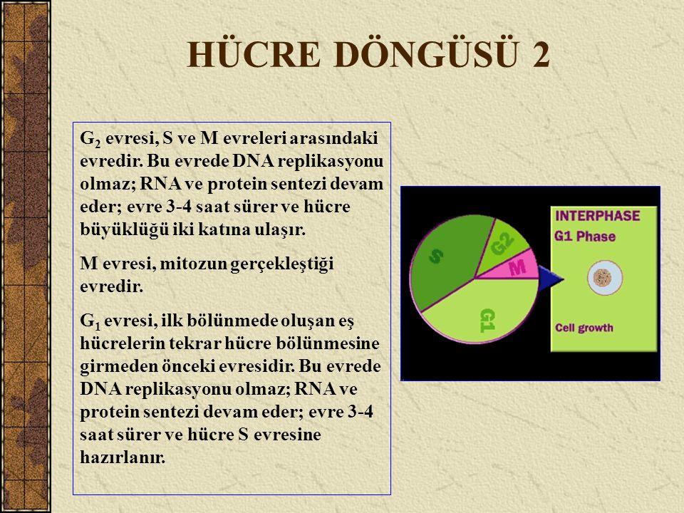 HÜCRE DÖNGÜSÜ 2 G 2 evresi, S ve M evreleri arasındaki evredir. Bu evrede DNA replikasyonu olmaz; RNA ve protein sentezi devam eder; evre 3-4 saat sür