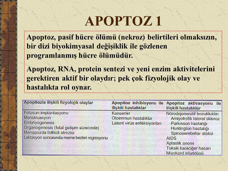 APOPTOZ 1 Apoptoz, pasif hücre ölümü (nekroz) belirtileri olmaksızın, bir dizi biyokimyasal değişiklik ile gözlenen programlanmış hücre ölümüdür. Apop