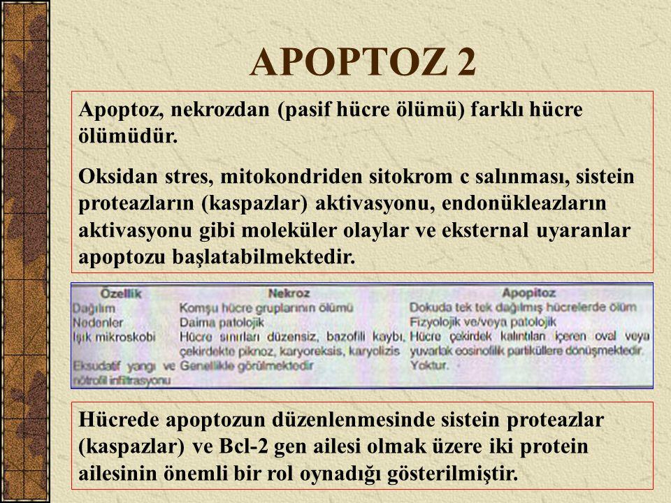 APOPTOZ 2 Apoptoz, nekrozdan (pasif hücre ölümü) farklı hücre ölümüdür. Oksidan stres, mitokondriden sitokrom c salınması, sistein proteazların (kaspa