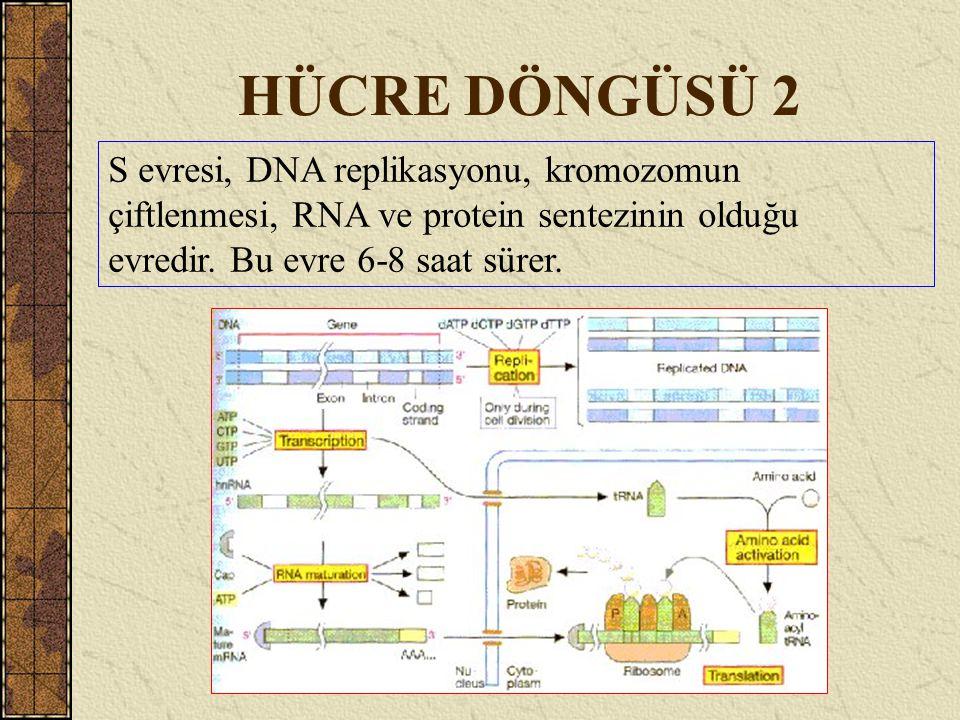 HÜCRE DÖNGÜSÜ 2 S evresi, DNA replikasyonu, kromozomun çiftlenmesi, RNA ve protein sentezinin olduğu evredir. Bu evre 6-8 saat sürer.