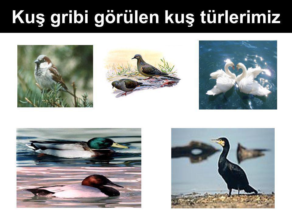 Kuş gribi görülen kuş türlerimiz