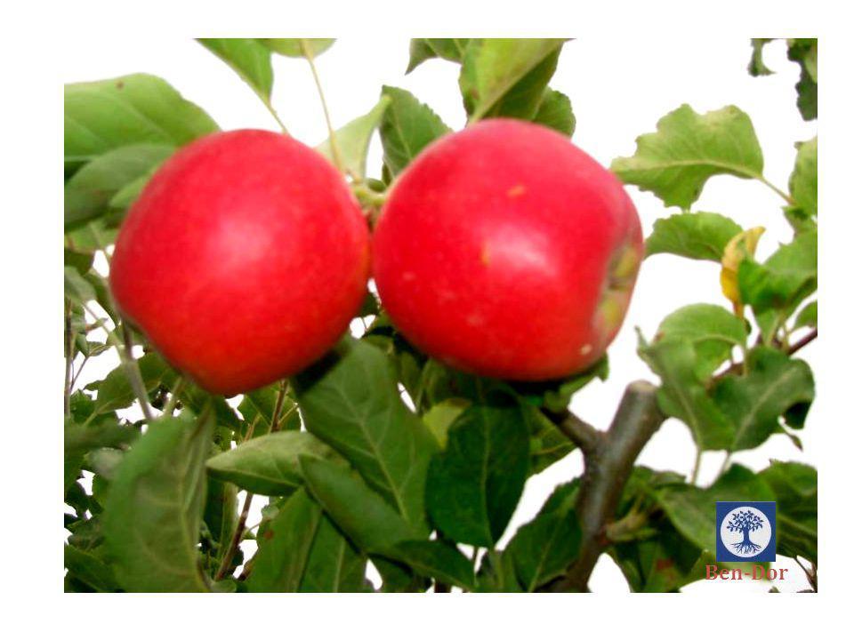 ODEM GALINA Fruit Characteristics: Ebat Ф (mm): 60-85 mm Renk colour: Kırmızıya Dönük 90% Et Rengi : Açık Sarı Şekil: Uzunlamasına Tadı: Sweet & sour Doku : Çıtır ve sulu Brix: 15% Ben-Dor
