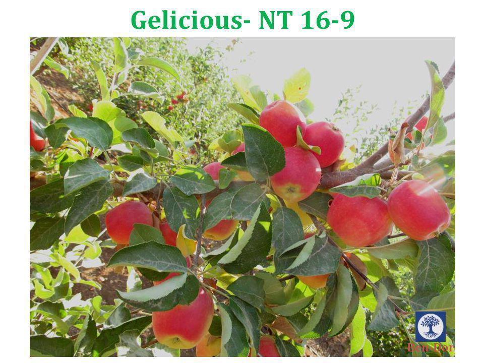 Gelicious- NT 16-9 Ben-Dor