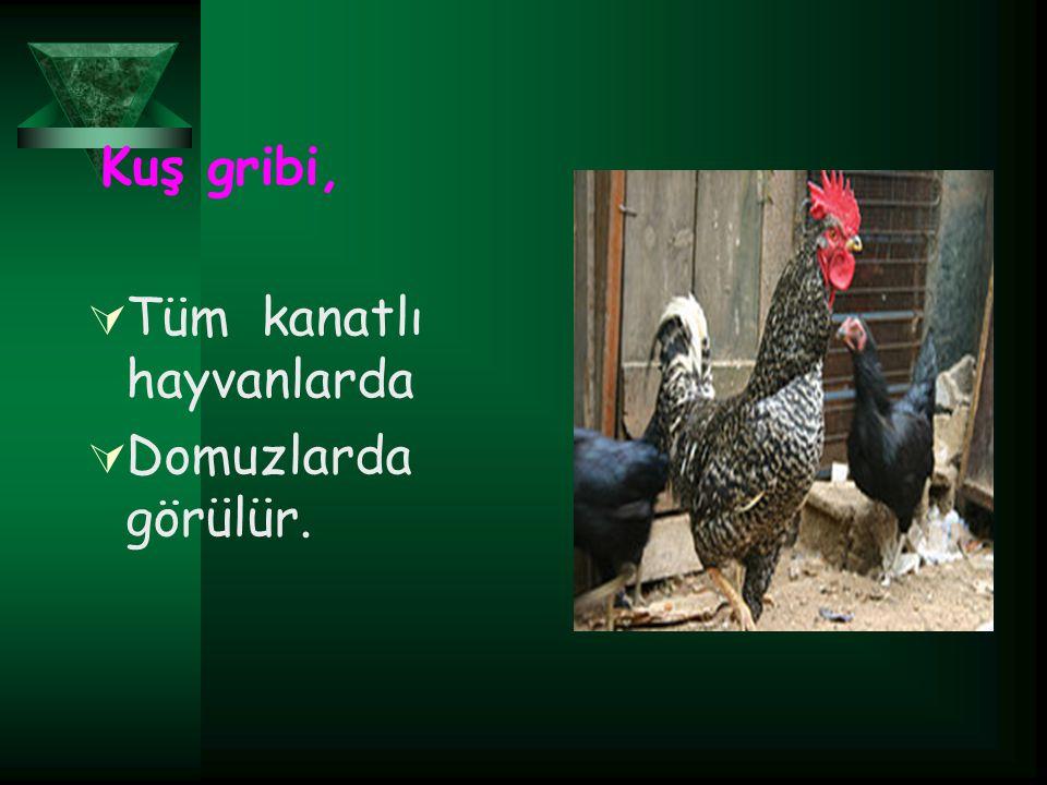 Kuş gribi, TTüm kanatlı hayvanlarda DDomuzlarda görülür.