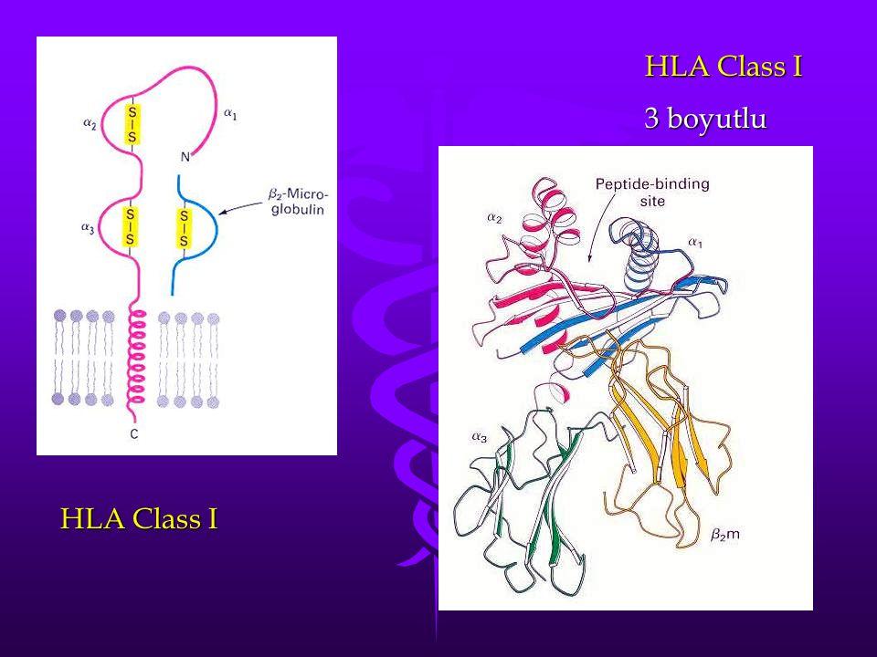 HLA Class I 3 boyutlu