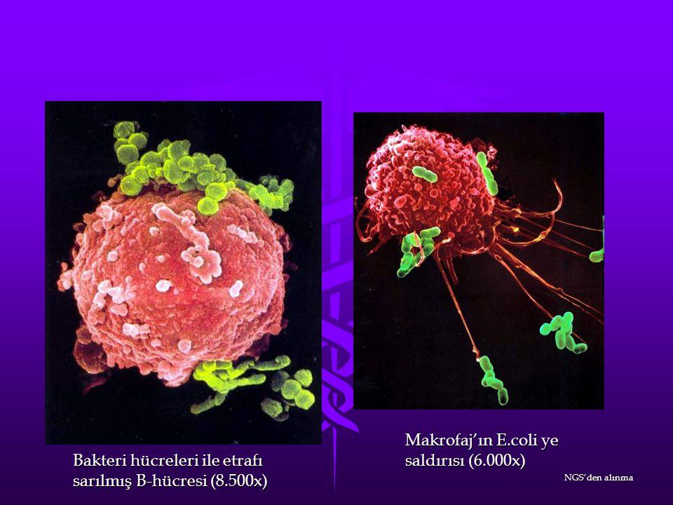 Makrofaj'ın E.coli ye saldırısı (6.000x) Bakteri hücreleri ile etrafı sarılmış B-hücresi (8.500x) NGS'den alınma