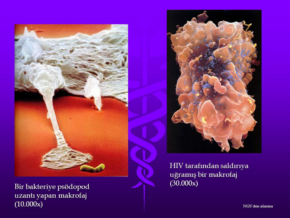 Sitotoksik bir T lenfositin (ok ile işaretli) influenza virüsü ile enfekte olan bir hedefe saldırısı.