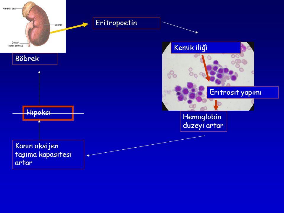 Böbrek Kemik iliği Eritropoetin Eritrosit yapımı Hipoksi Kanın oksijen taşıma kapasitesi artar Hemoglobin düzeyi artar