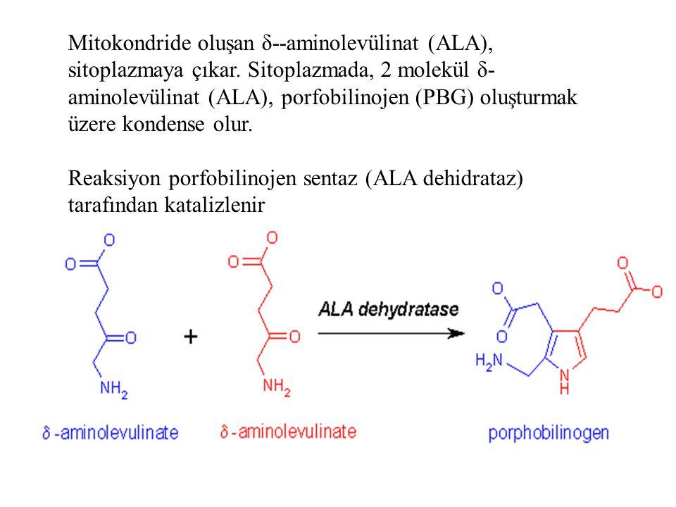 Mitokondride oluşan δ--aminolevülinat (ALA), sitoplazmaya çıkar. Sitoplazmada, 2 molekül δ- aminolevülinat (ALA), porfobilinojen (PBG) oluşturmak üzer