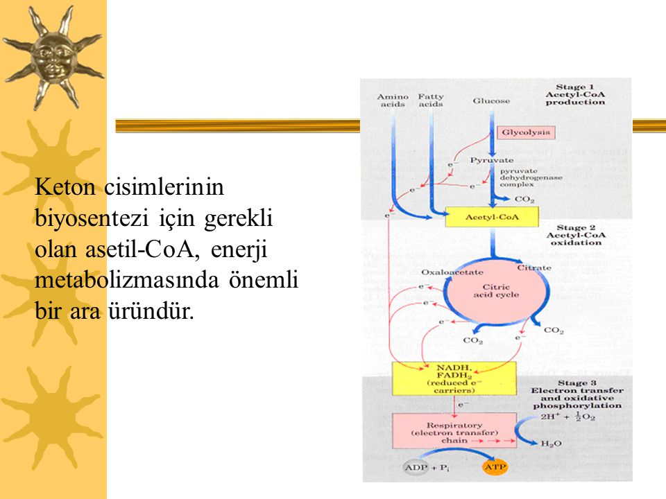 23 Keton cisimlerinin biyosentezi için gerekli olan asetil-CoA, enerji metabolizmasında önemli bir ara üründür.