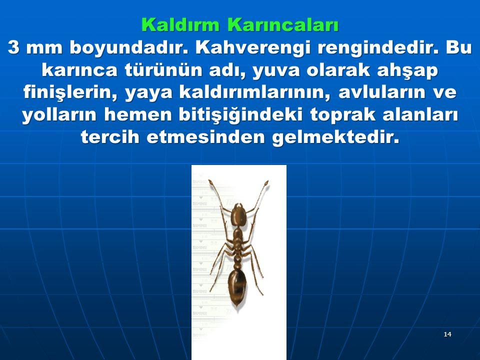 Kaldırm Karıncaları 3 mm boyundadır. Kahverengi rengindedir.