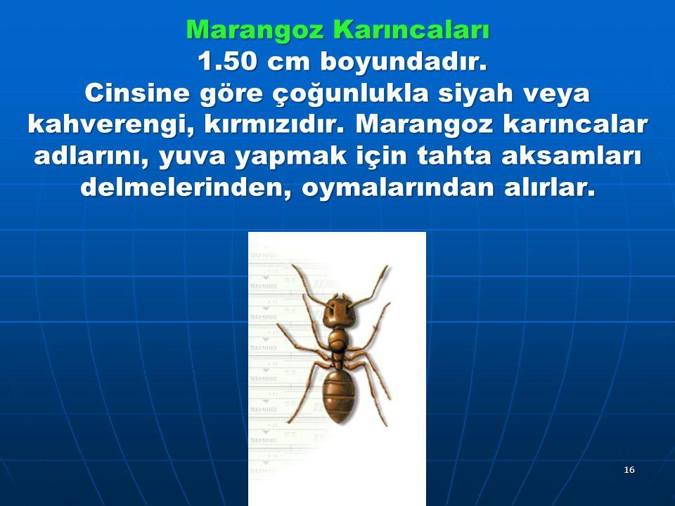 Marangoz Karıncaları 1.50 cm boyundadır. Cinsine göre çoğunlukla siyah veya kahverengi, kırmızıdır.