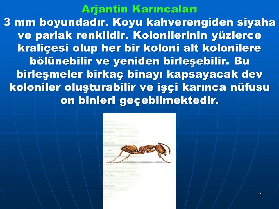 Arjantin Karıncaları 3 mm boyundadır. Koyu kahverengiden siyaha ve parlak renklidir.