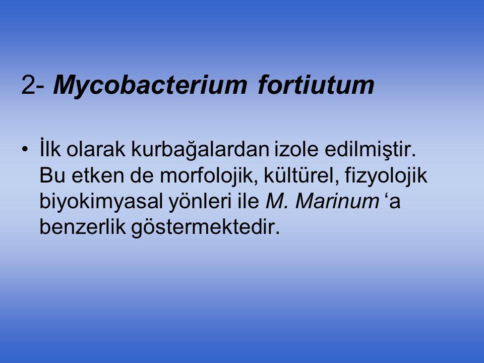 2- Mycobacterium fortiutum İlk olarak kurbağalardan izole edilmiştir. Bu etken de morfolojik, kültürel, fizyolojik biyokimyasal yönleri ile M. Marinum