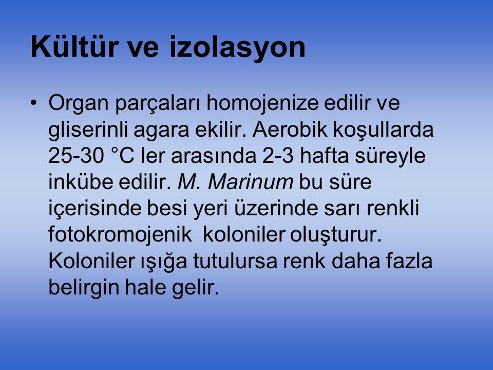 M. Marinum