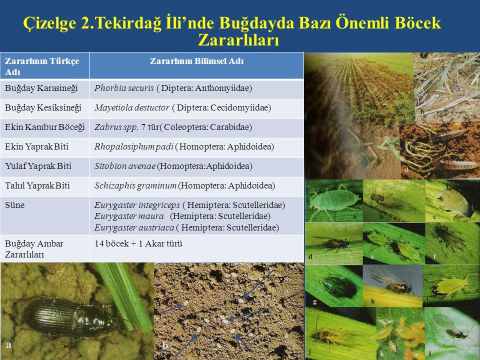 Çizelge 2.Tekirdağ İli'nde Buğdayda Bazı Önemli Böcek Zararlıları Zararlının Türkçe Adı Zararlının Bilimsel Adı Buğday KarasineğiPhorbia securis ( Dip