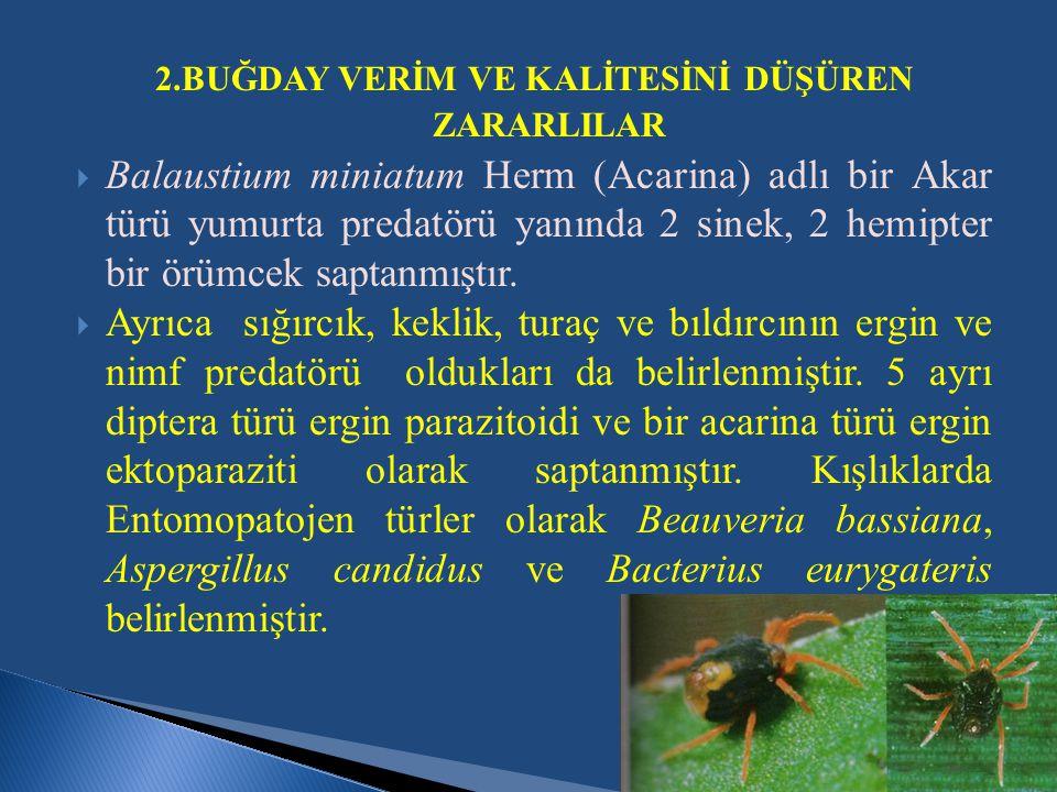 2.BUĞDAY VERİM VE KALİTESİNİ DÜŞÜREN ZARARLILAR  Balaustium miniatum Herm (Acarina) adlı bir Akar türü yumurta predatörü yanında 2 sinek, 2 hemipter