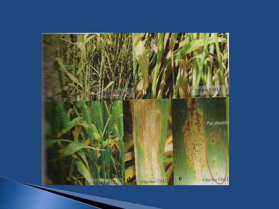 1.4. Buğdayda Yaprak ve Başak Hastalıkları
