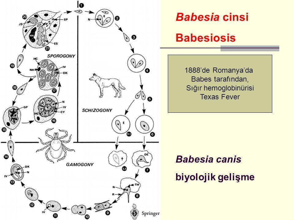 Babesia canis biyolojik gelişme Babesia cinsi Babesiosis 1888'de Romanya'da Babes tarafından, Sığır hemoglobinürisi Texas Fever