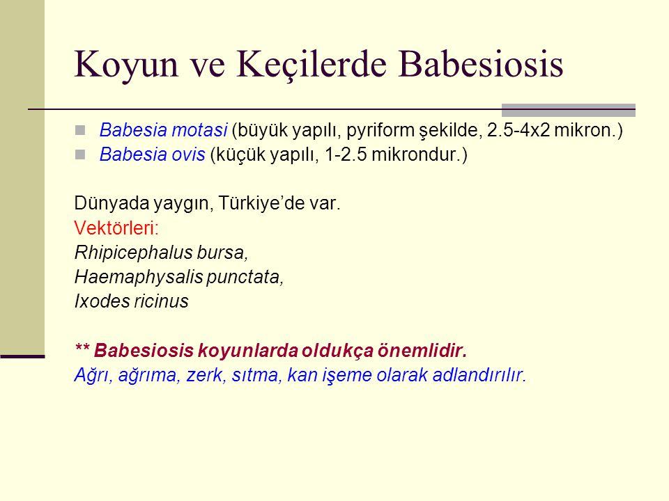 Koyun ve Keçilerde Babesiosis Babesia motasi (büyük yapılı, pyriform şekilde, 2.5-4x2 mikron.) Babesia ovis (küçük yapılı, 1-2.5 mikrondur.) Dünyada y