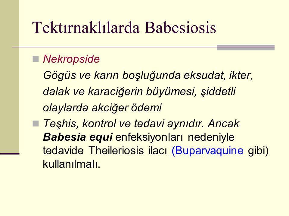 Tektırnaklılarda Babesiosis Nekropside Gögüs ve karın boşluğunda eksudat, ikter, dalak ve karaciğerin büyümesi, şiddetli olaylarda akciğer ödemi Teşhi