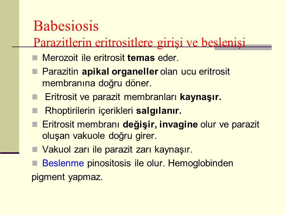 Babesiosis Parazitlerin eritrositlere girişi ve beslenişi Merozoit ile eritrosit temas eder. Parazitin apikal organeller olan ucu eritrosit membranına