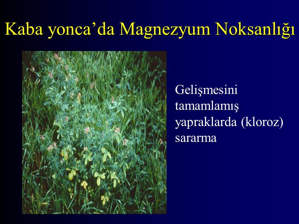 Kaba yonca'da Magnezyum Noksanlığı Gelişmesini tamamlamış yapraklarda (kloroz) sararma