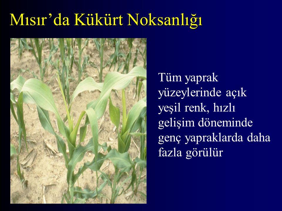 Mısır'da Kükürt Noksanlığı Tüm yaprak yüzeylerinde açık yeşil renk, hızlı gelişim döneminde genç yapraklarda daha fazla görülür