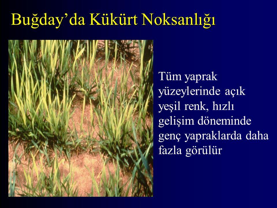 Buğday'da Kükürt Noksanlığı Tüm yaprak yüzeylerinde açık yeşil renk, hızlı gelişim döneminde genç yapraklarda daha fazla görülür