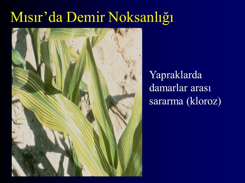 Mısır'da Demir Noksanlığı Yapraklarda damarlar arası sararma (kloroz)