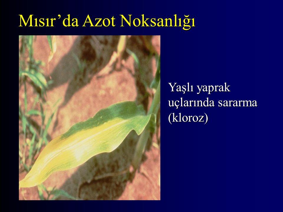 Yaşlı yaprak uçlarında sararma (kloroz) Mısır'da Azot Noksanlığı