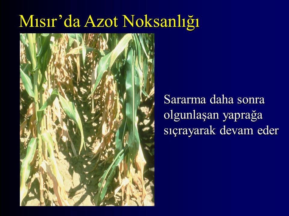 Sararma daha sonra olgunlaşan yaprağa sıçrayarak devam eder Mısır'da Azot Noksanlığı