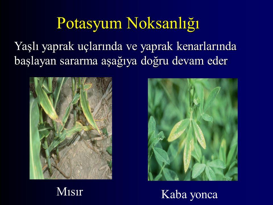 Potasyum Noksanlığı Mısır Kaba yonca Yaşlı yaprak uçlarında ve yaprak kenarlarında başlayan sararma aşağıya doğru devam eder